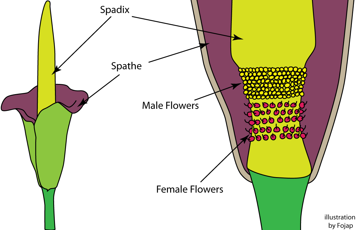 Corpse flower diagram block and schematic diagrams corpse flower fojap rh fojap com corpse flower structure hibiscus diagram izmirmasajfo