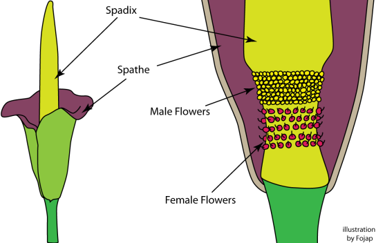 An illustration showing the arrangement of the male and female flowers on the spadix inside the spathe.