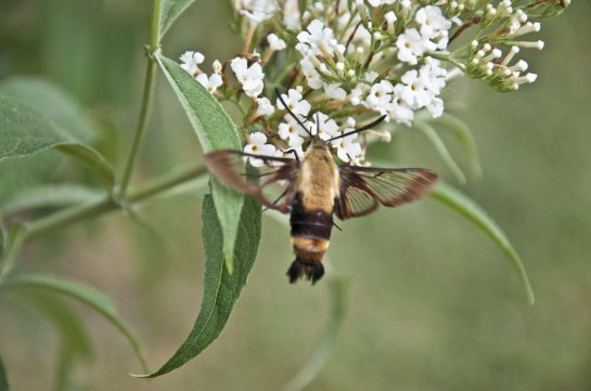 A winged insect with a fuzzy, stout body on a butterfly bush.