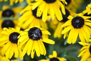 wasp_on_black_eyed_susans