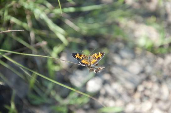 This is a Pearl Crescent. There were dozens of these butterflies in one spot.