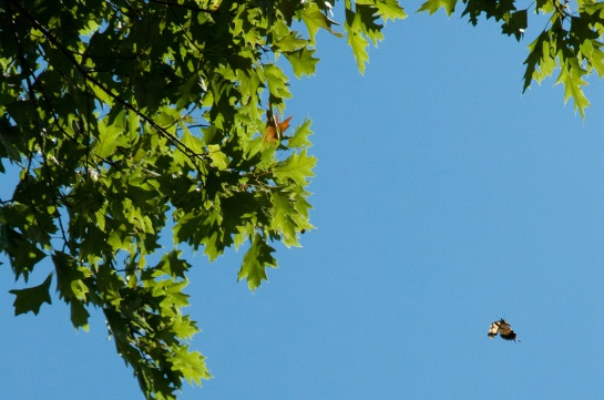 A tiger swallowtail in a cloudless sky framed by the leaves of a tree.