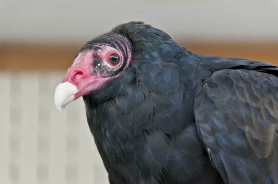 A twenty five year old female turkey vulture.