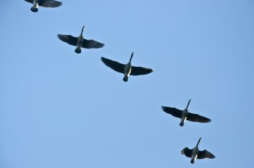 I heard a loud squawking overhead and looked up. A flock of Canada Geese were flying surprisingly low.