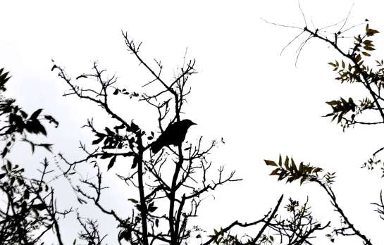 A crow in a tree.
