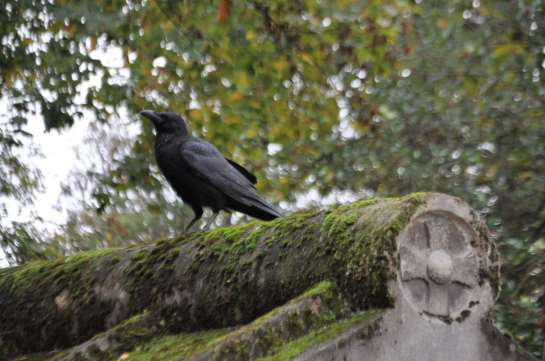 A crow on a moss covered grave.