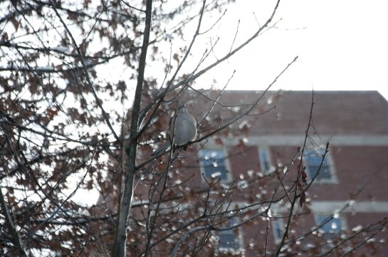 Then I spied one of my favorite little birds, a Northern Mockingbird, in a sapling.