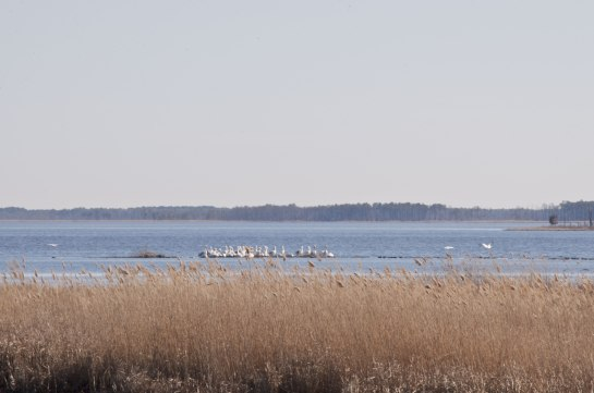 A flock of pelicans.