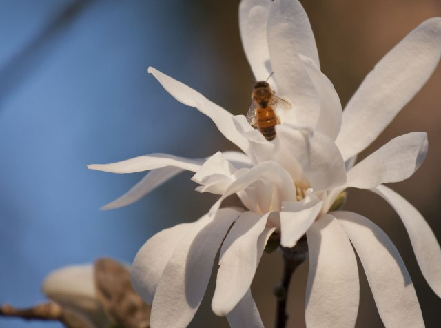 I nearly forgot, a saw this bee in a Magnolia.