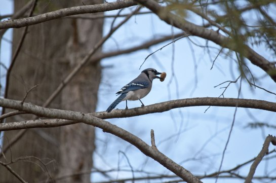 As I've mentioned before, the Blue Jays have been watching me feed the squirrels and have learned some of their tricks.