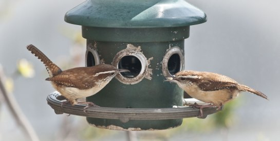 two carolina wrens on a bird feeder