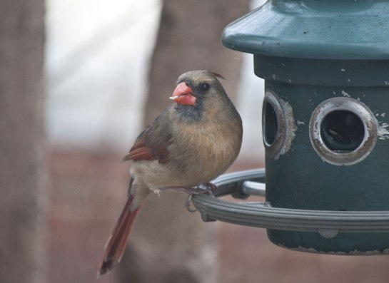 I was taking a picture of this female Northern Cardinal when...