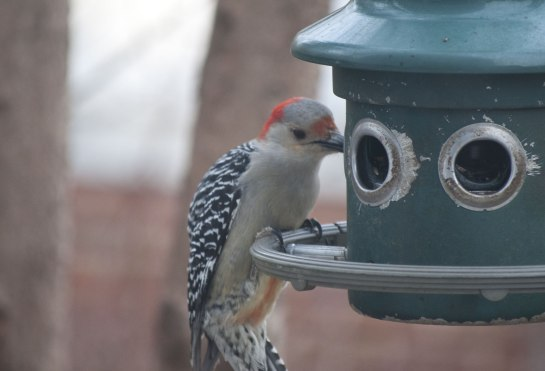 ...this female Red Bellied Woodpecker chased her away. You can see the red belly in this picture.