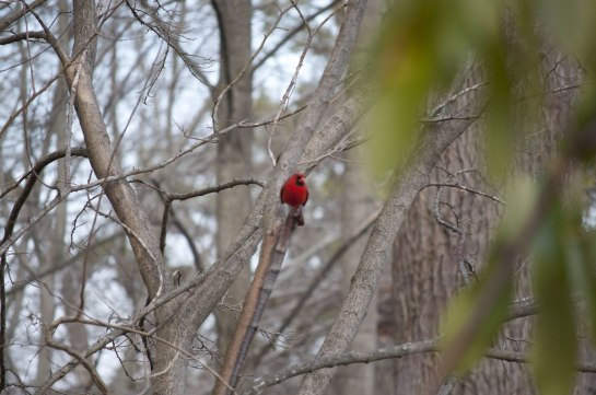 northern-cardinal-in-tree