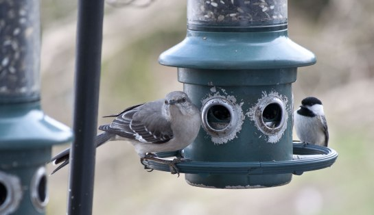 Here's a Northern Mockingbird sharing the feeder with a Black Capped Chickadee.