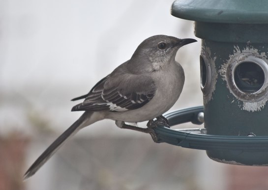 The Mockingbird is a comparatively new visitor to the feeder.