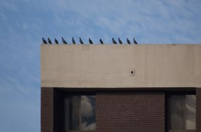 pigeons-on-rooftop