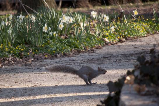 Once squirrel chased another down a tree and across this path. I missed the first squirrel, but here's his pursuer.