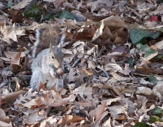 Perhaps he was defending his hoard of nuts. Squirrels are scatters hoarders. The deposit nuts all over the place and it's quite a feat of memory that they can remember where.