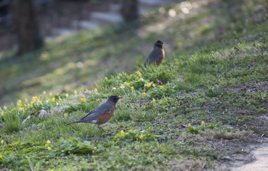 Two Robbins foraging on a slope.