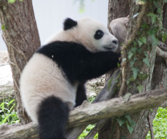 Climbing trees is one of the giant panda's primary defenses.
