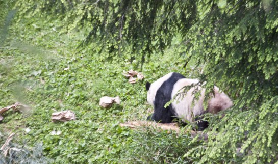 The mother, Mei Xiang, comes out from under the tree to get a treat hidden in a paper bag. Ninety percent of a panda's diet is bamboo, but they enjoy fruit and some tubers. At the zoo they were eating some orange things I thought were carrots, but were probably sweet potatoes.