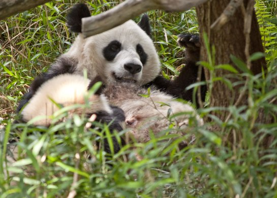 Bao Bao has been going outside with her mother since the first of April.