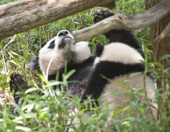 Mei Xiang flopped on her back while Bao Bao continued nursing.