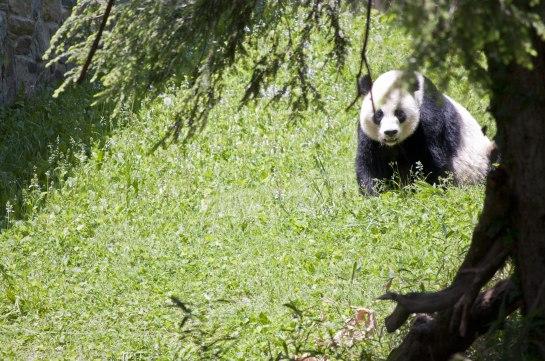 Mei Xiang returns to the tree Bao Bao is climbing.
