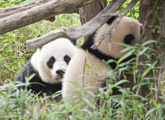 Young giant pandas stay with their mother for nearly two years.