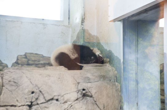 Bao Bao settles down for a nap. It's shortly before one thirty in the afternoon.