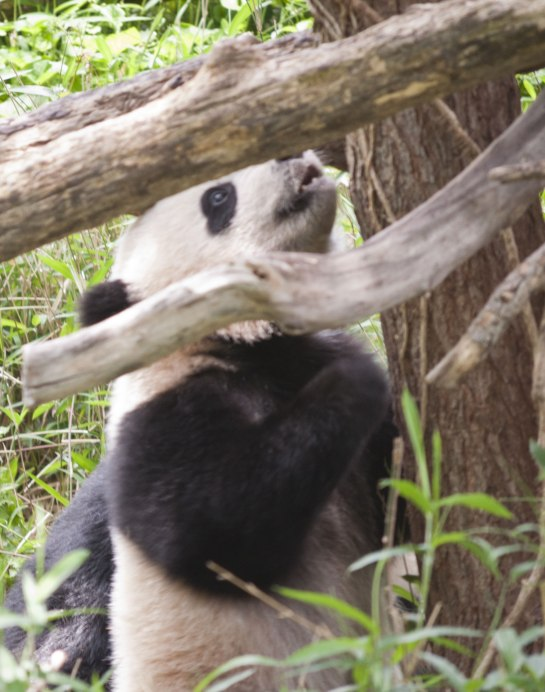 Bao Bao first climbed a tree on April 21. She falls down a lot, but that is common for a baby giant panda.
