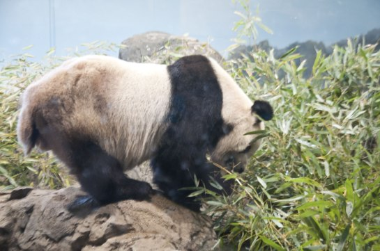 After the bears had all gone inside, I realized that I had entirely ignored Papa Bear, Tian Tian.