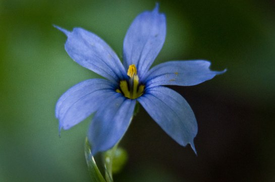 Sisyrinchium angustifolium, aka Blue-eyed grass. This flower is perhaps one and a half centimeters. It's a pretty little thing if you stop long enough to look.