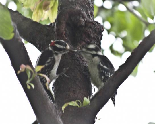 The bird on the left is an adult male Downy Woodpecker and he appears to be feeding his fledgling.