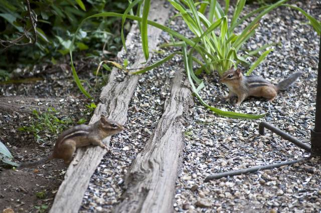 The chipmunk on the left is the friendly one.