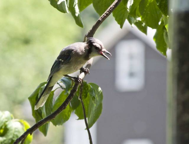 The blue jay fledgling sits near the bird feeder and cries for his parents to feed him.