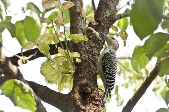 This is the Red-bellied Woodpecker fledgling. It's hard to see in this picture, but I think it's a male. His parents have had one or two fledglings each year.