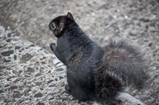 Black-Squirrel-on-Step