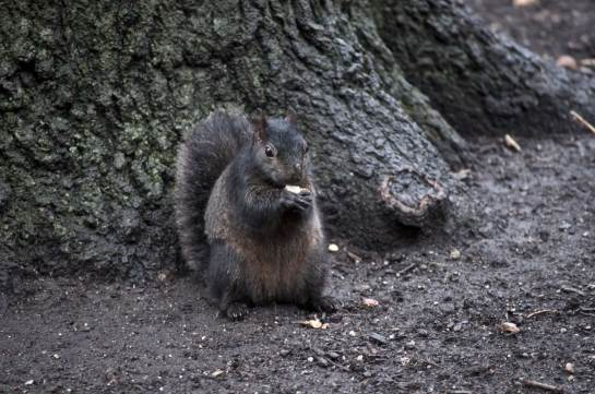 Black-Squirrel-under-Tree