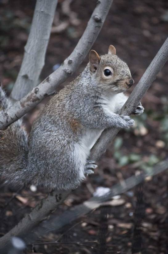 Grey-Squirrel-in-Tree
