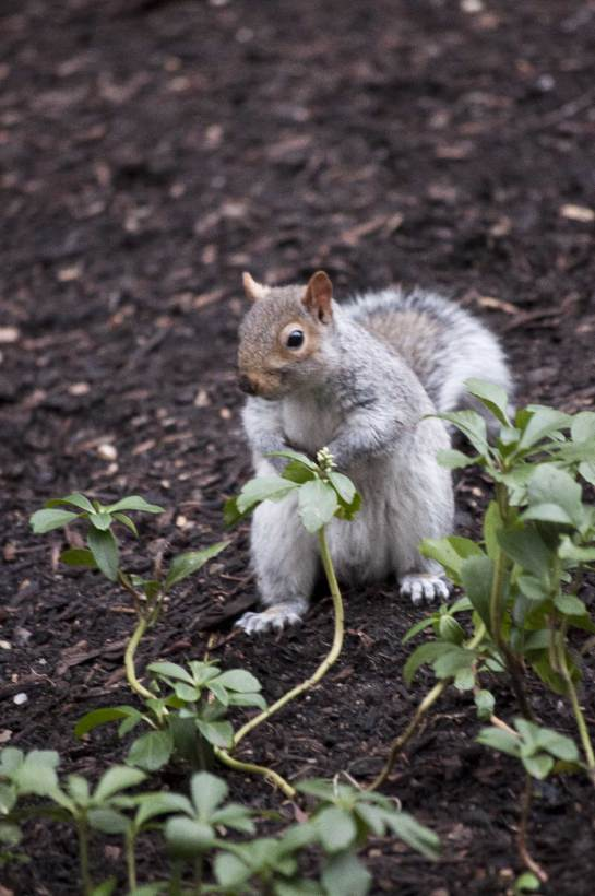 Grey-Squirrel