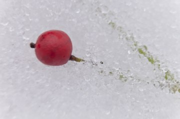 Berry-in-Snow