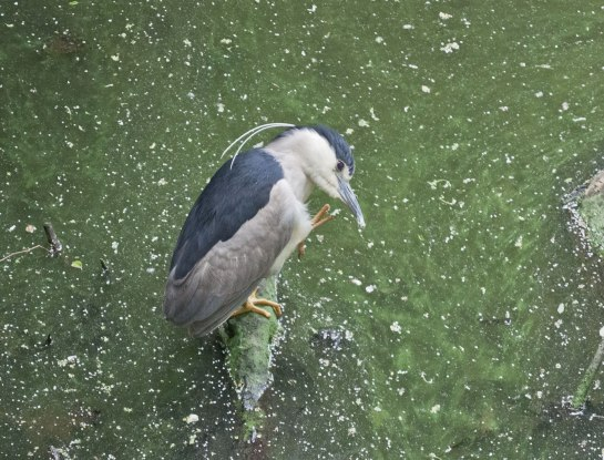 Black-crowned-Night-Heron-Grooming