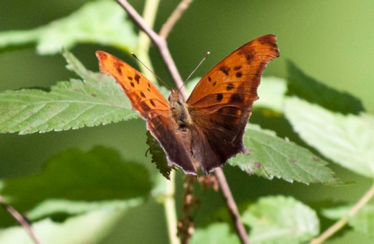 "Polygonia interrogationalis. A Question Mark. ""Question Mark"" is the name of butterfly."