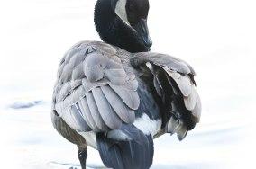 Goose-Grooming