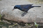 One of a pair of Grackles. This one was gather little worms from the water.