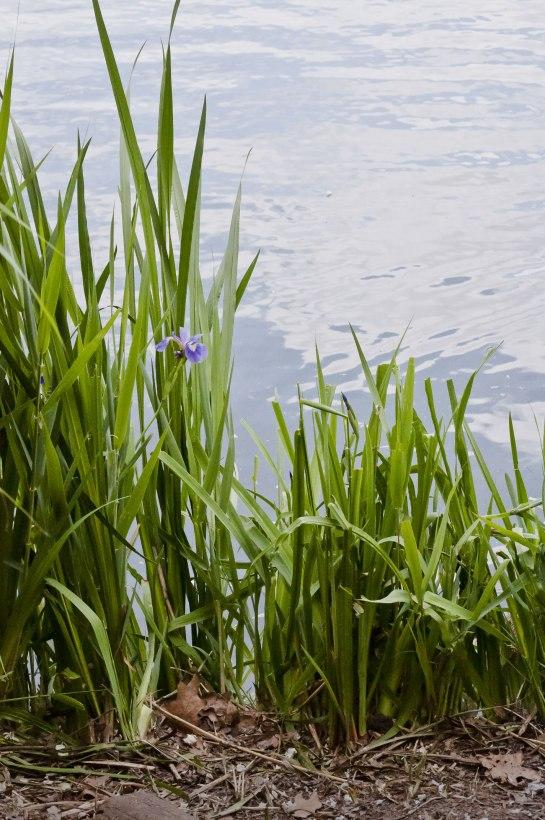 Iris-by-Lake