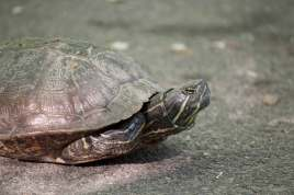 Red-eared-Slider-on-Path