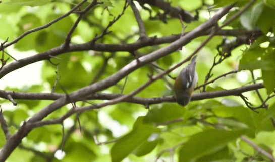 Redstart-Female